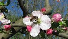 Սկսվել է մեղուների վարրոատոզ հիվանդության դեմ կենսապատրաստուկի բաշխման գործընթացը